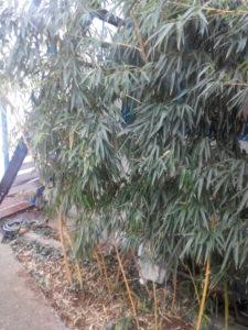 Бамбук желтый