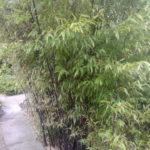 Бамбук черный