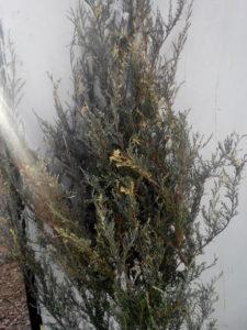 Можжевельник скальный скайрокет пестрый