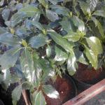 аукуба зеленая