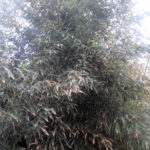 Бамбук сизо-зеленый